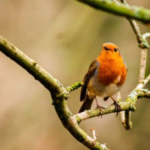 A robin in Holden park